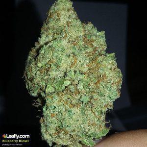 Marijuana Strain - Blueberry Diesel - San Francisco (CA)