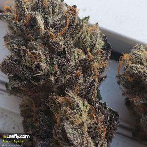 Strain of Marijuana Los Angeles (CA)