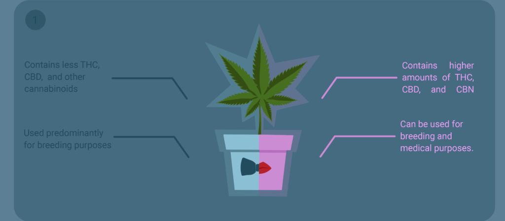 comparing male vs female cannabis
