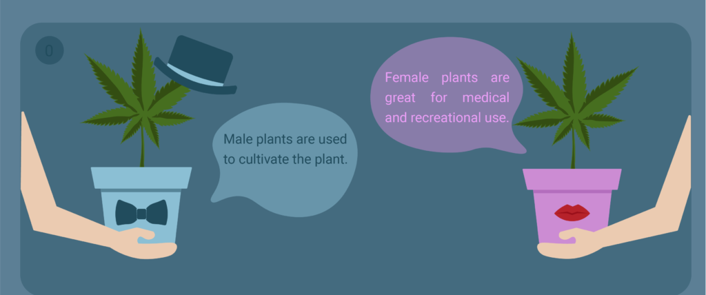 male and female plants of marijuana