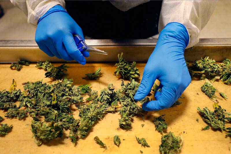Marijuana cultivators